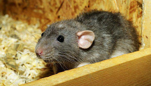 Rat, Female, Color Rat, Rodent, Pet, Cute, Funny, Fur