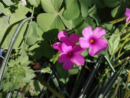 Flower, Fuchsia, Violet, Spring, Flora, Rosa, Plant