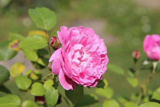 Pink, Pink Rose, Rosier English, Rose Petals, Flowering