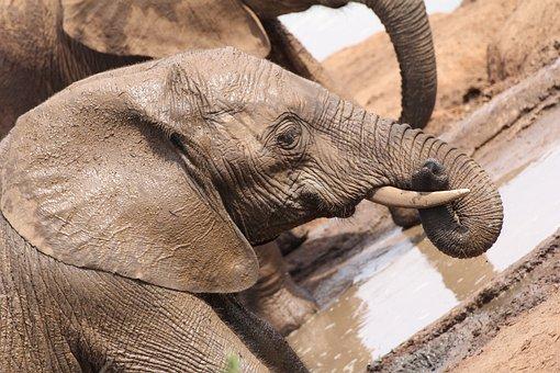 Elephant, Portrait, Baby Elephant, South Africa, Safari