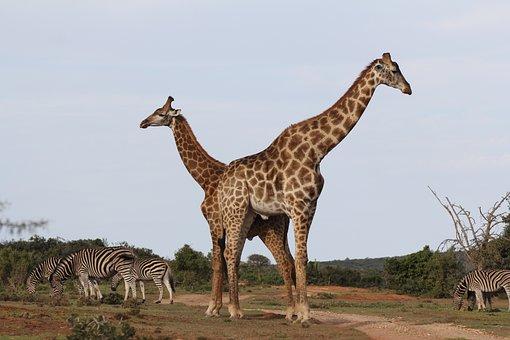 Giraffes, Pair, Zebra Herd, South Africa, Safari, Cross