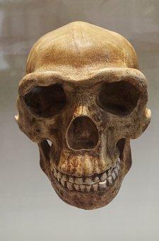 Skull, Bones, Bone, Man, Museum, Skeleton, Death, Dead