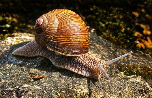 Snail, Bauchfuesser, Snail Shell, Crawl, Shell, Mollusk