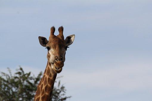 Giraffe, Portrait, Chew, Long Jibe, South Africa