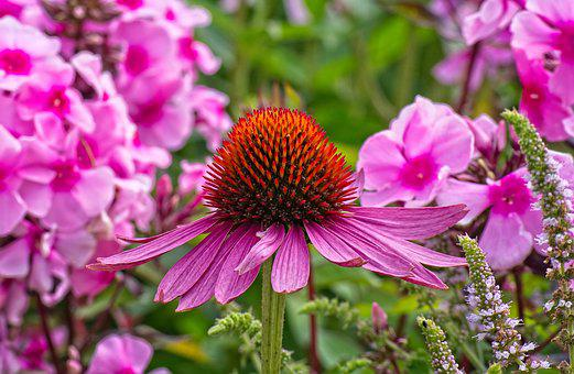 Sun Hat, Echinacea, Flower, Nature, Summer, Plant