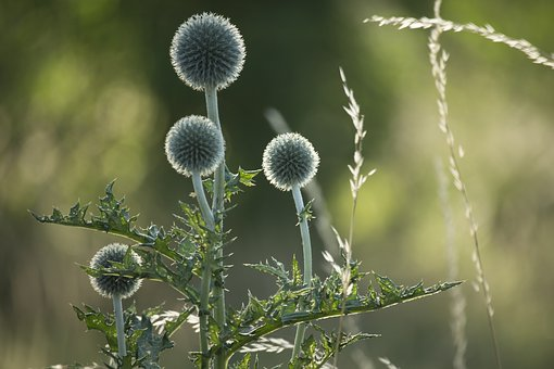 Thistles, Nature, Thistle, Summer, Plant, Flower
