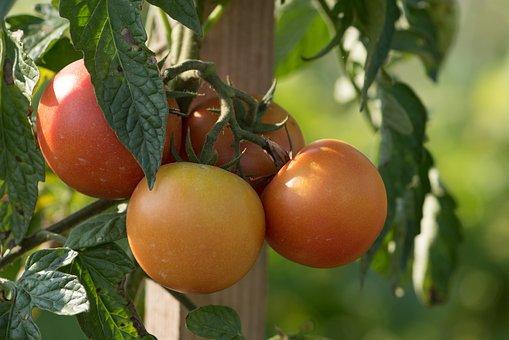 Tomatoes, Vegetables, Garden, Food, Healthy, Fresh