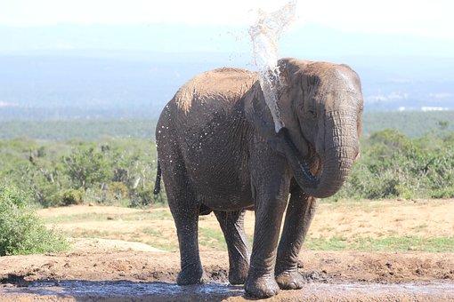 Elephant, Safari, Water, Proboscis, Wilderness
