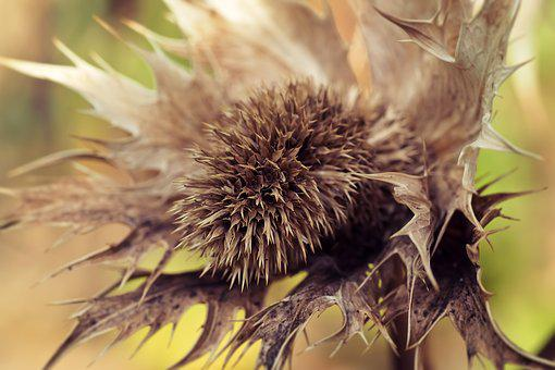 Thistle, White Thistle, Faded, Brown, Withers, Withered