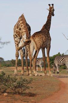 Giraffes, Two, Giraffe, Annoy, Safari, Wilderness