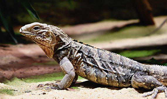 Reptile, Lizard, Animal, Iguana, Wildlife, Fauna