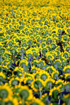 Sunflower, Yellow, Yellow Petals, Petal, Mass, Plant