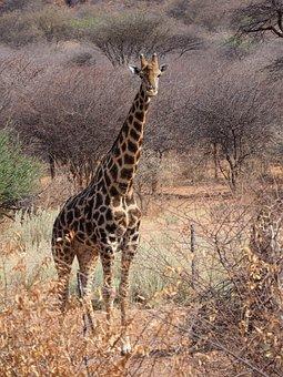 Etosha, Giraffe, Africa