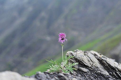 Cornflower, Alpine, Mountains, Stones, Hike, Purple