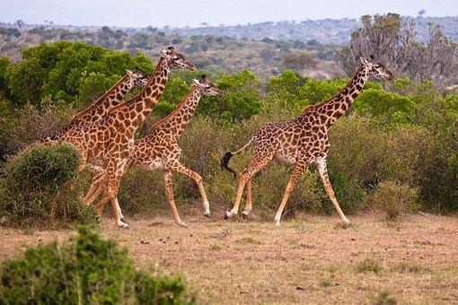 Do Giraffe, Animal, Kenya, Nature, Wilderness, Heavy