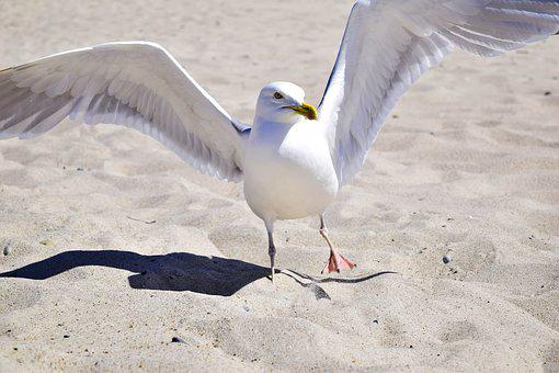 Seagull, Bird, Plumage, Marine Bird, Aquatic, Animal