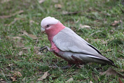 Galah, Bird, Australian, Australia, Parrot, Pink