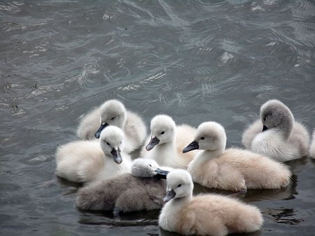 Chicks, Swan, Swans, Baby, Baby Animal, Babies, Bird