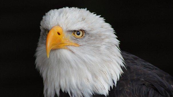 Adler, Close Up, Deer Park, Bald Eagle, Head, Predator