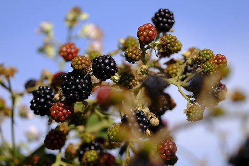 Blackberries, Berry, Bed, Fruit, Soft Fruit, Bush, Wild