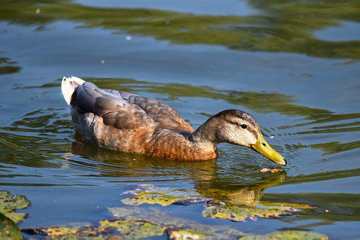 Duck, Mallard, Female, Waterbird, Bird, Animal, Feather