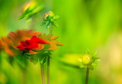 Dahlia, Flower, Movement, Blossom, Bloom, Red