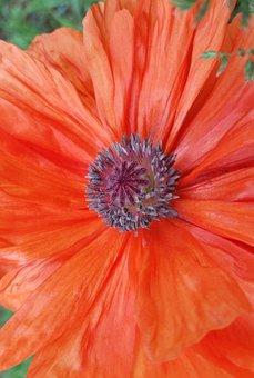 Flower, Poppy, Orange, Nature, Blossom, Garden, Bloom