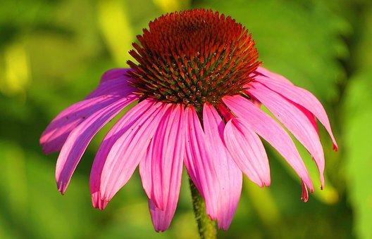 Echinacea, Purple, Blossom, Bloom, Flower, Flora