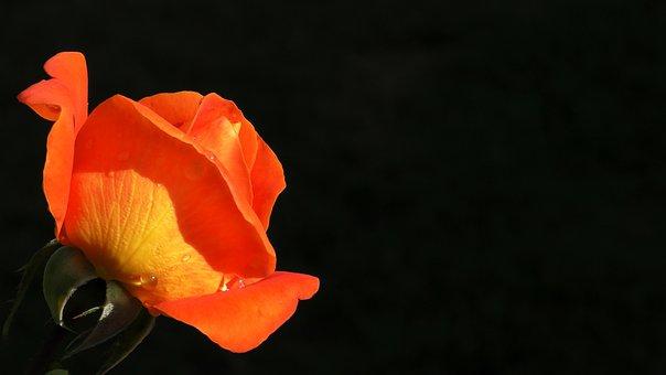 Rose, Orange, Blossom, Bloom, Flower, Orange Rose