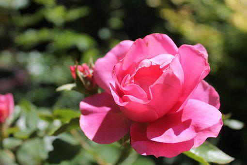 Rose, Pink, Garden, Flower, Blossom, Bloom