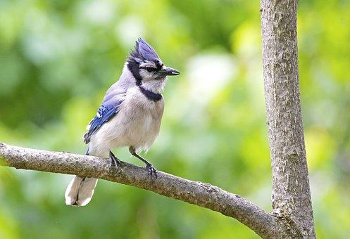 Bird, Bluejay, Jay, Nature, Wildlife, Ornithology, Blue