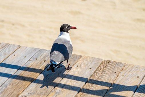 Seagull, Beach, Boardwalk, Bird, Animal, Sand