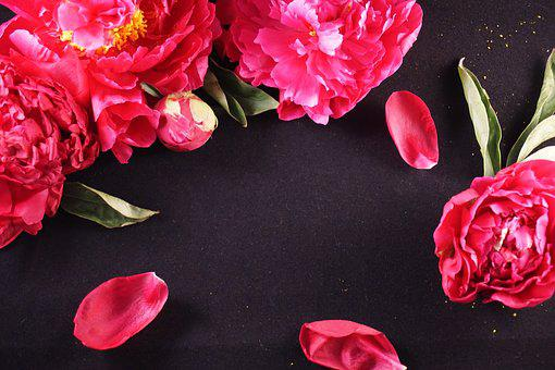 Peonies, Black, Background, Flowers, Floral, Bright