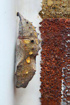 Red Admiral, Chrysalis, Butterfly