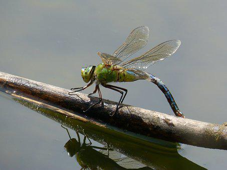 Dragonfly, Dragonfly Large, Anax-imperator, Cane