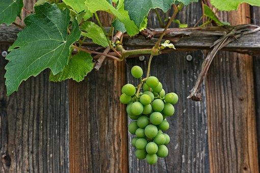 Grapevine, Vine, Climbing Wine, Rank Plant, Climber