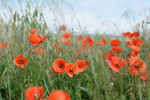 Field, Poppies, Corn, The Cultivation Of