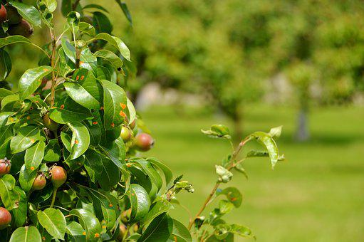 Orchard, Apple, Agriculture, Culture, Apples, Green