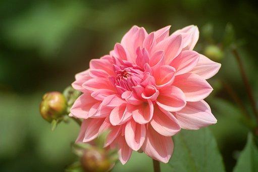 Dalia, Flower, Garden, Dahlias, Pink, Flowers, Summer