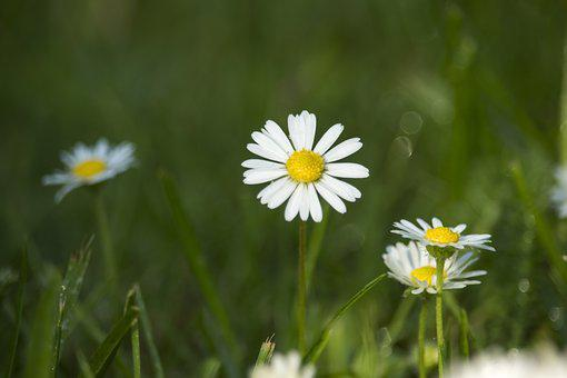 Daisies, Field, Meadow, Green, Summer, Spring, Meadows