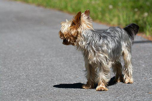 Dog, Small, Small Dog, Away, Road, Yorki, Purebred Dog