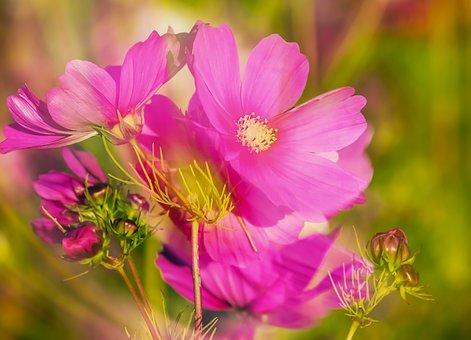 Cosmea, Flowers, Double Exposure, Bloom, Pink, Cosmos