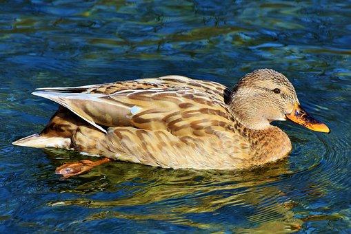 Duck, Mallard, Water Bird, Duck Bird, Bill, Poultry