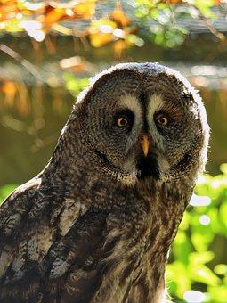 Bart Owl, Strix Nebulosa, Bird, Owl, Close Up, Eyes