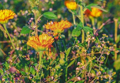 Marigold, Flower, Blossom, Bloom, Yellow Orange
