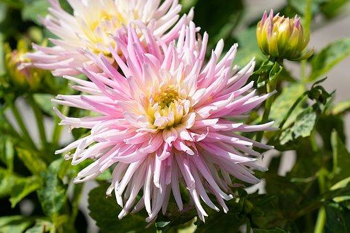 Flower, Pink, Pink Flower, Blossom, Bloom, Garden