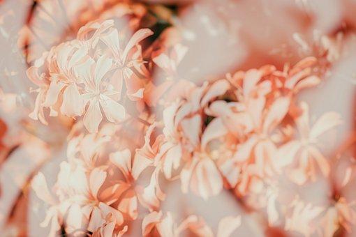 Geranium, Slope Geranien, Double Exposure, Flower