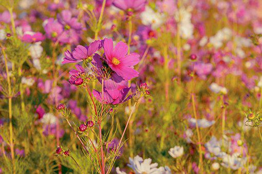 Cosmea, Flowers, Bloom, Flower Meadow, Cosmos, Blossom