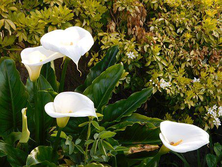 Flowers, Garden, Nature, Blossom, Peace Lily, White