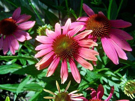 Kúpvirág, Summer Flower, Garden